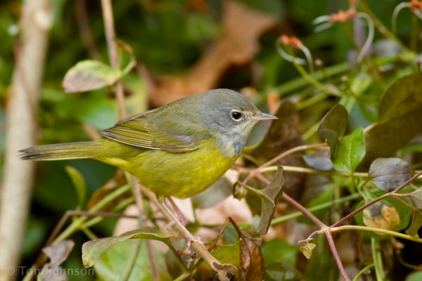 MacGillivray's Warbler Tom Johnson 4