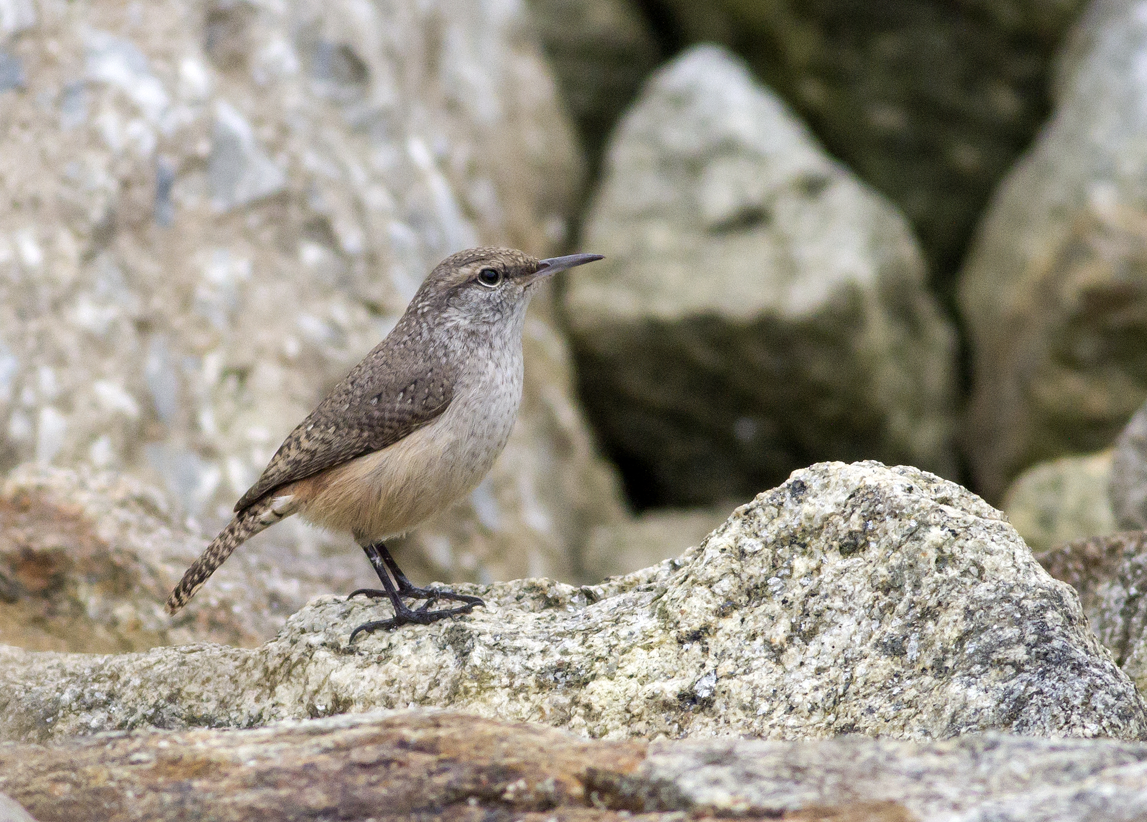Rock Wren George Armistead 4